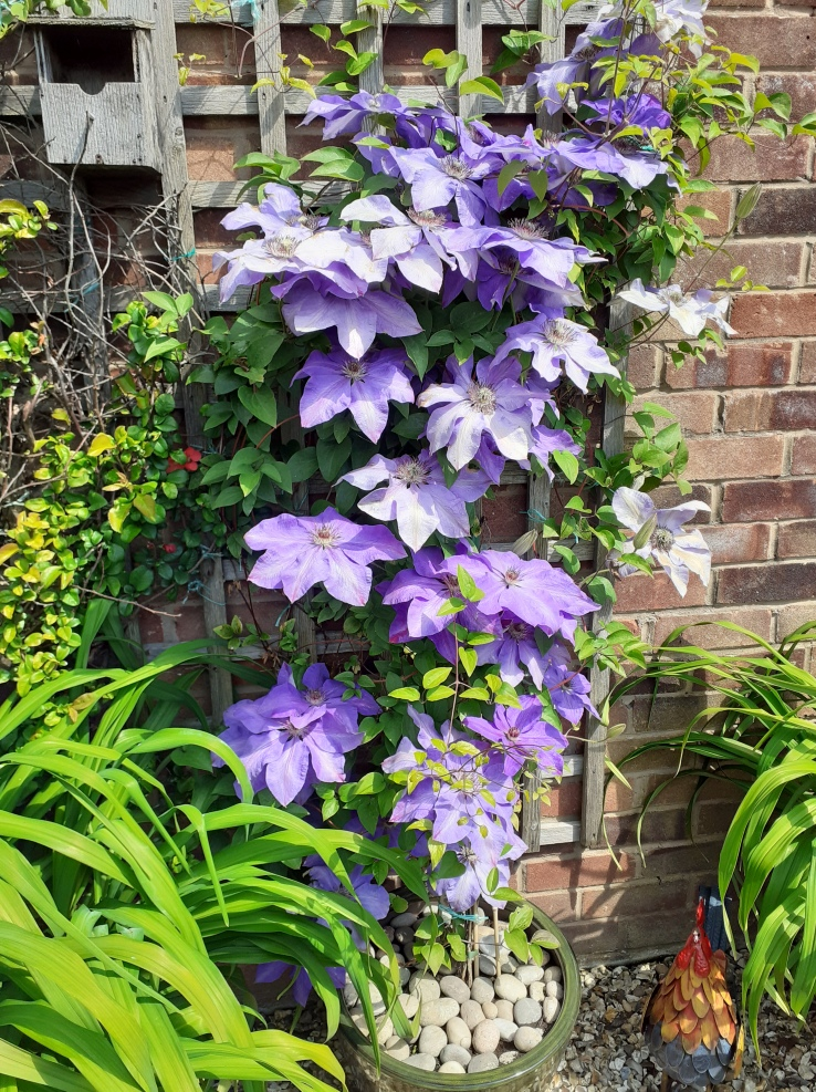 Lilac coloured clematis.