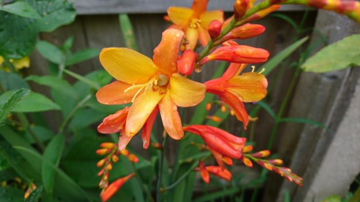 Crocosmia flower.