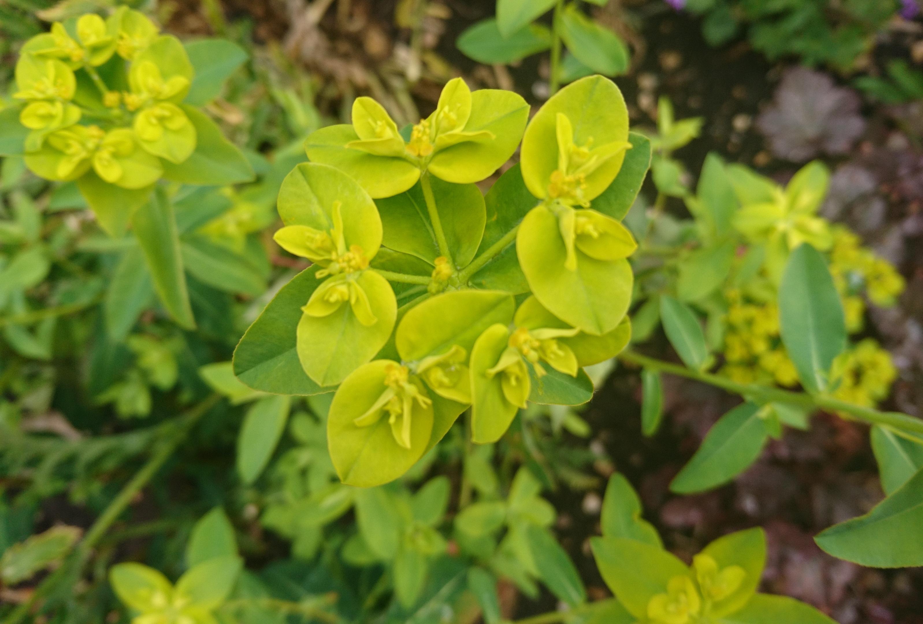 Euphorbia oblongata.
