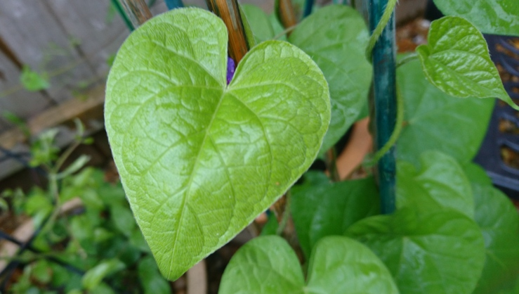 Morning Glory heart shaped leaf.
