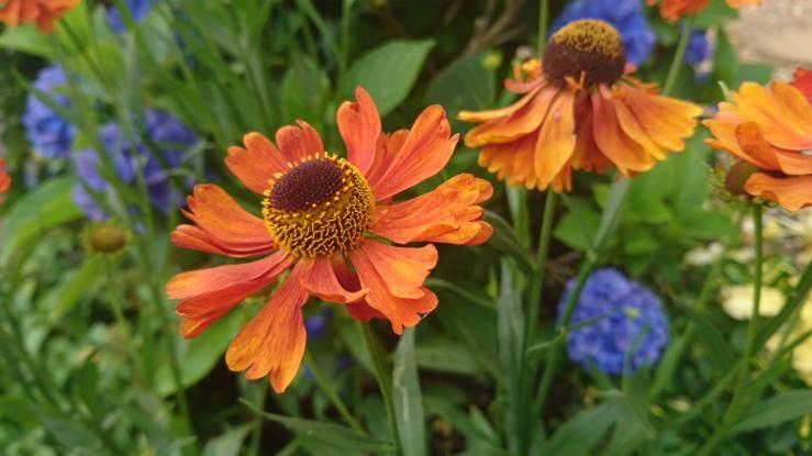 Orange heleniums planted with blue hydrangea.