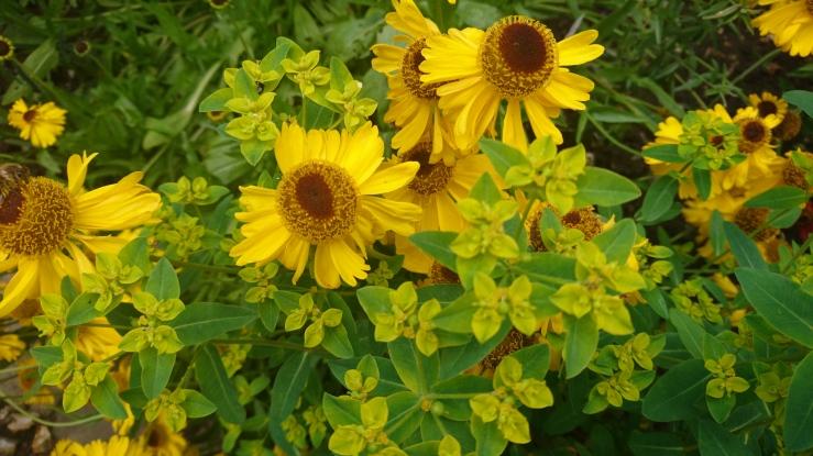 Yellow heleniums.
