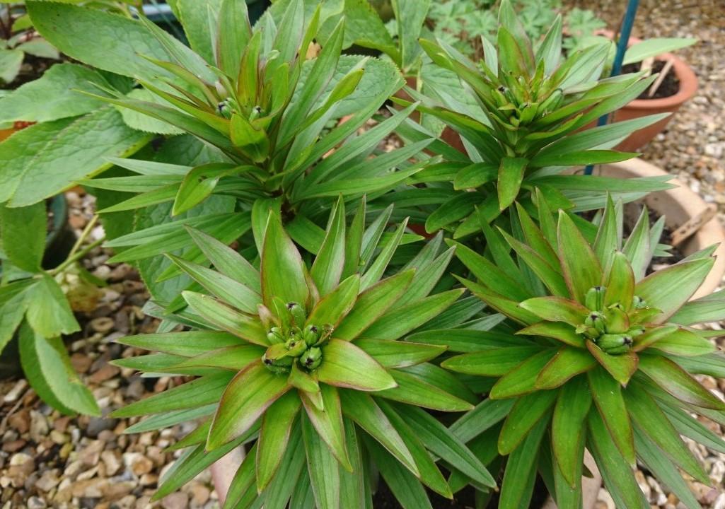 Dwarf lilies in bud.