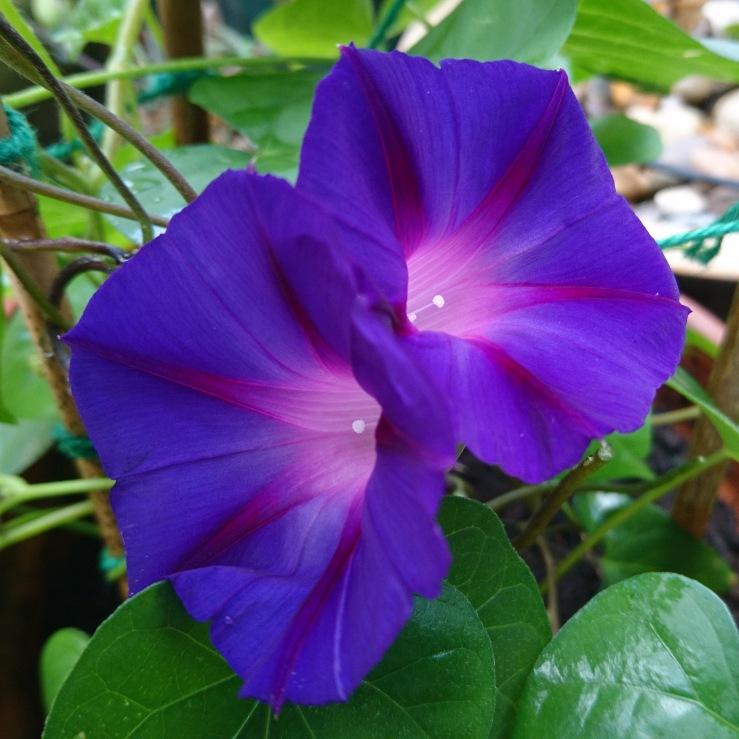 Purple Morning Glory plant.