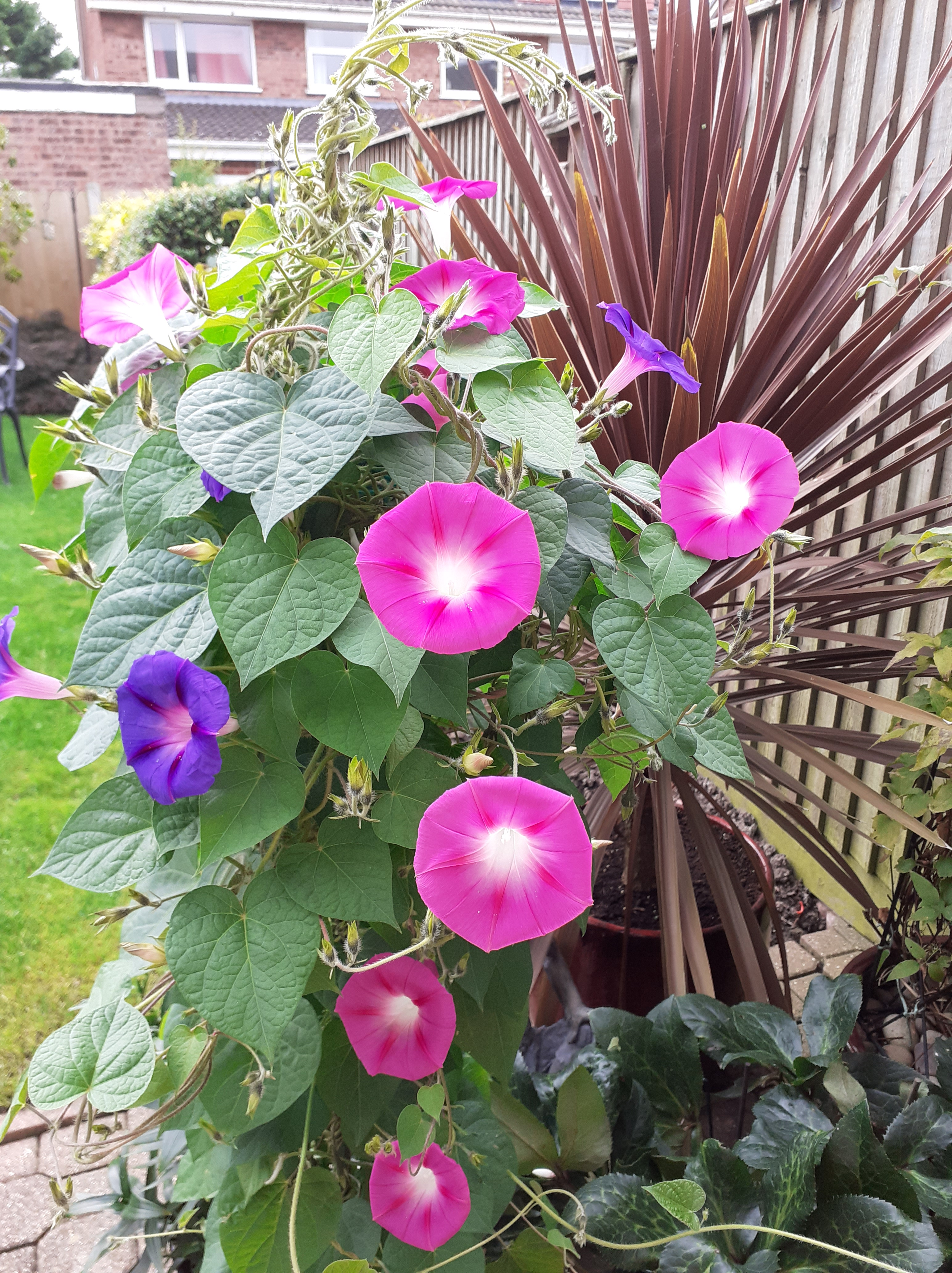 Purple and Pink Morning Glory plant.