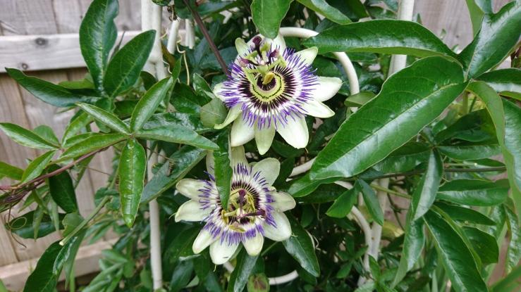 Passion Flower.